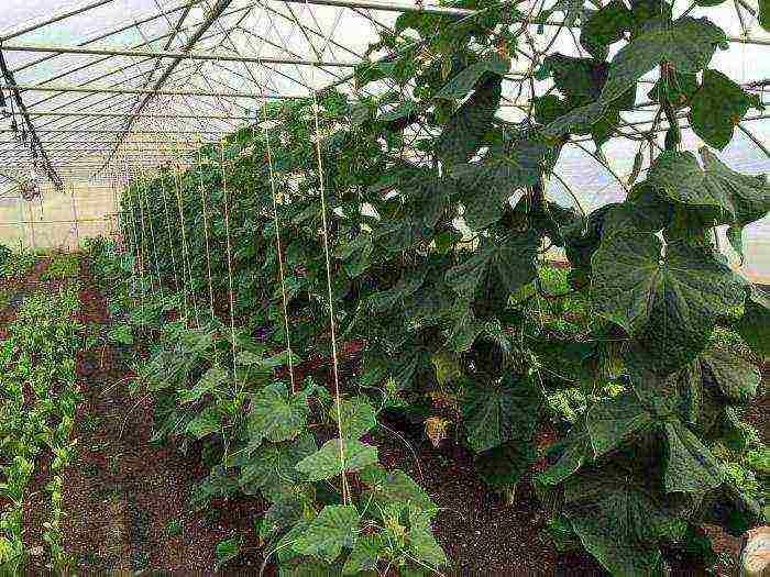 При какой температуре можно высаживать помидоры в теплицу
