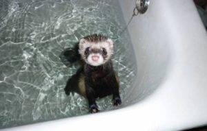 Как мыть хорька. как в домашних условиях купать хорька