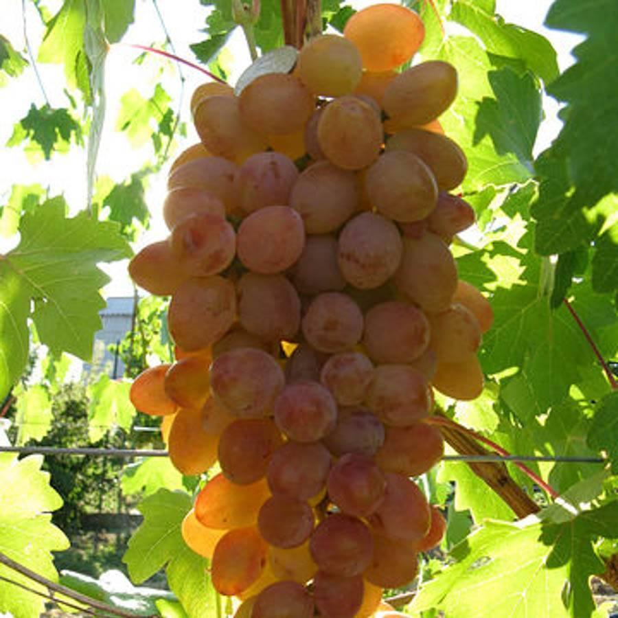Виноград румба: характеристики сорта и 7 этапов ухода