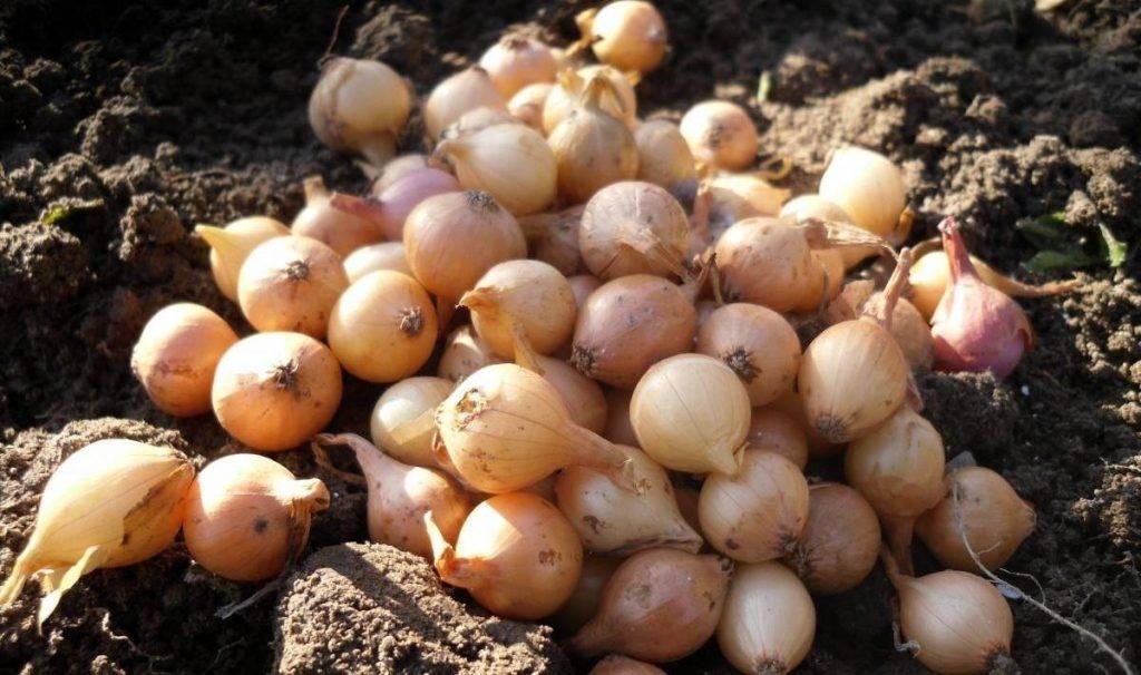 Сколько раз и чем подкормить лук, посаженный на перо и головку? особенности внесения удобрений