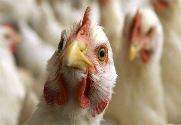 «птичьи» инфекции, вызванные вирусами и бактериями
