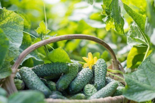Внекорневая подкормка огурцов в открытом грунте и теплице: сроки внесения, виды удобрений