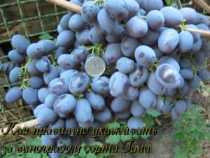 """Виноград галия: описание сорта, фото и отзывы садоводов - журнал """"совхозик"""""""