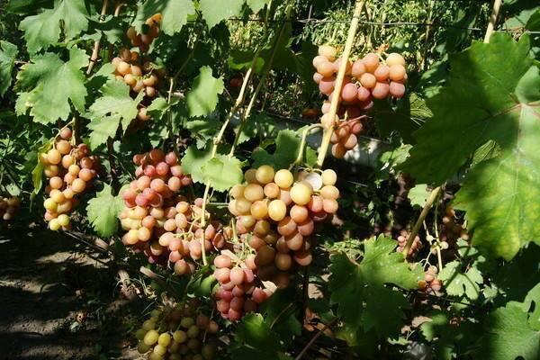 "Виноград ""гурман"": описание, фото, посадка и уход"