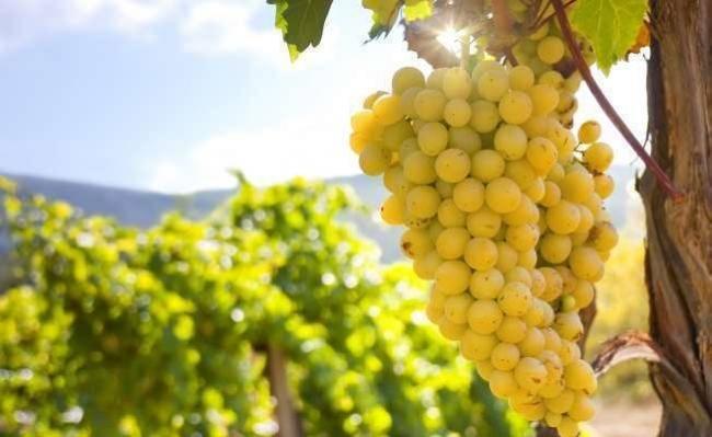 Виноград кишмиш лучистый описание сорта фото, вкусовые качества