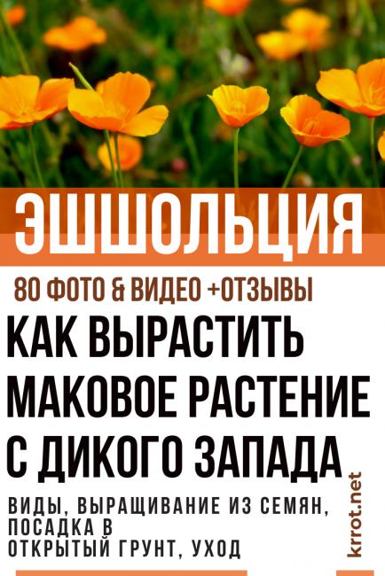 Эшшольция калифорнийская. посадка, размножение, уход, сорта, фото на supersadovnik.ru