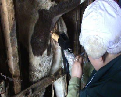 Почему после покрытия идут выделения у коровы. известные способы осеменения коров, их преимущества и недостатки