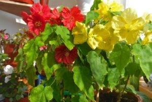 Абутилон уход в домашних условиях: выращивание из семян, почему желтеют или опадают листья?
