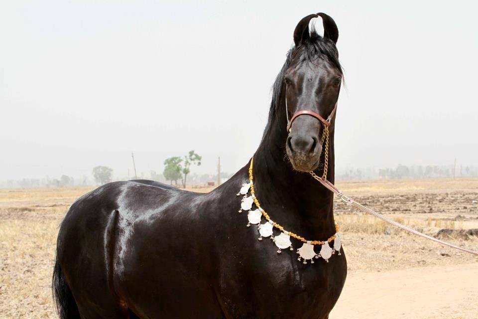 Лошади марвари: история происхождения, характеристика, использование