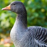 Болезни гусей: симптомы и лечение в домашних условиях