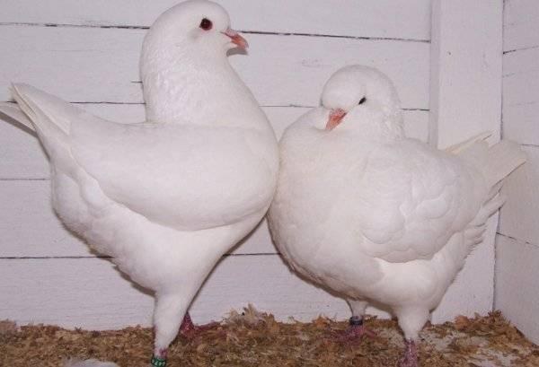 Домашние голуби: лучшие породы, содержание и кормление