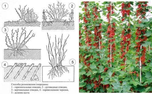 Черенкование смородины весной. как укоренить смородину в банке - огород, сад, балкон - медиаплатформа миртесен