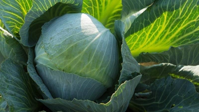 Капуста коля f1: характеристика гибрида, фото кочанов, описание урожайности сорта и отзывы о вкусовых качествах
