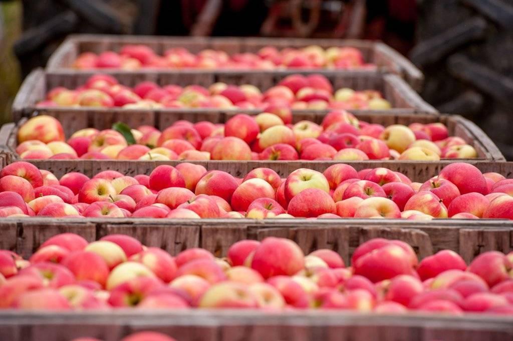 Зимние сорта яблок, хранящиеся до весны: как сохранить в домашних условиях в погребе и какие пригодны для этого? selo.guru — интернет портал о сельском хозяйстве