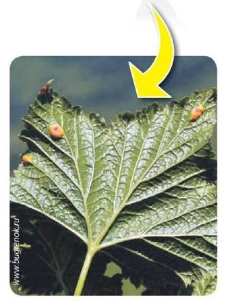 Бокальчатая ржавчина смородины – как бороться с заболеванием, почему оно возникает и как защитить растения