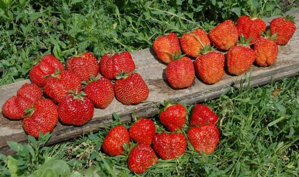 Клубника гигантелла: описание сорта, фото, отзывы садоводов, характеристика и урожайность, особенности выращивания