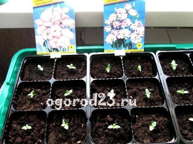 Эустома: посадка и уход в открытом грунте, выращивание из семян