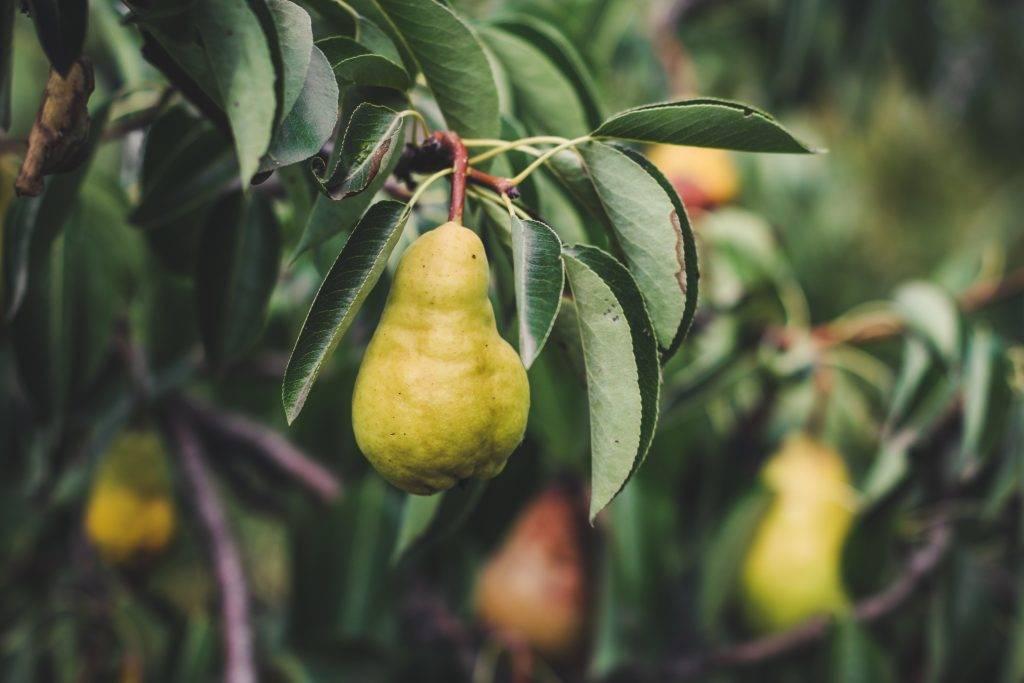 Как вырастить яблоню и грушу из черенка - дачные советы