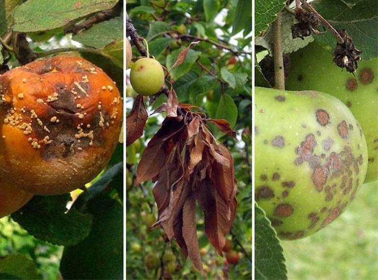 Заболевания яблонь - как их выявить и как лечить