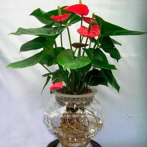 Почему не цветет антуриум и что делать для возобновления цветения