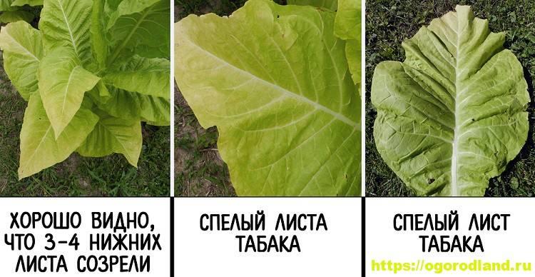 Выращивание табака курительного из семян на огороде и в домашних условиях: как сажать, ухаживать, собирать и сушить урожай для курения правильно