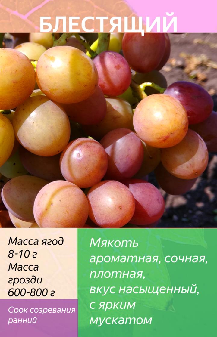 Виноград: посадка и уход в открытом грунте для новичков