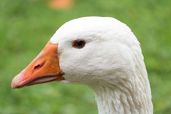 Кубанские гуси: описание породы, серые и белые, выращивание гусят | птичник club
