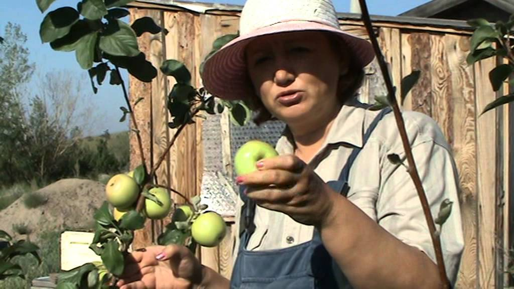 Описание сорта яблони чудное