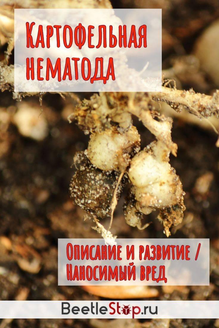 Борьба с золотистой картофельной нематодой