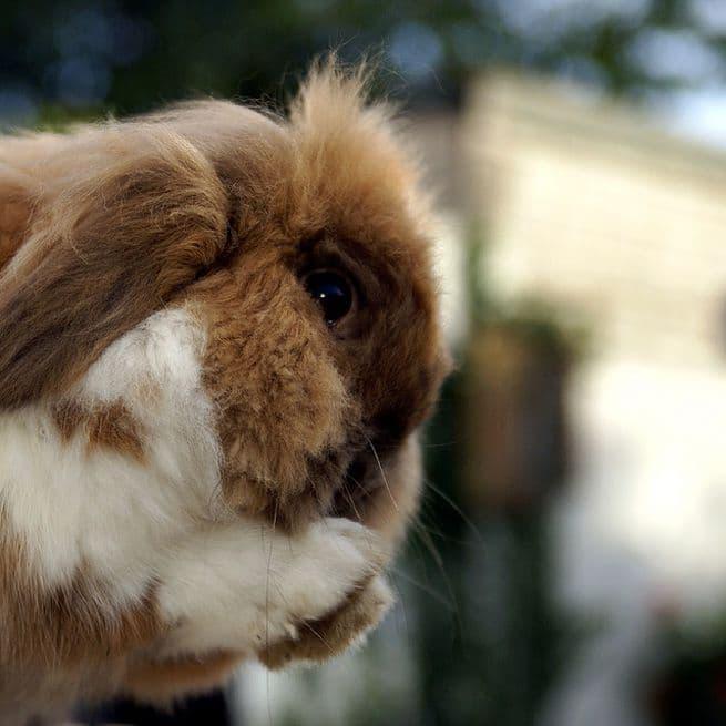 Как лечить насморк у кроликов: симптомы, причины заболевания, профилактика