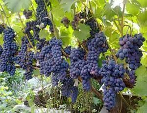 Описание сорта винограда Ливадийский черный