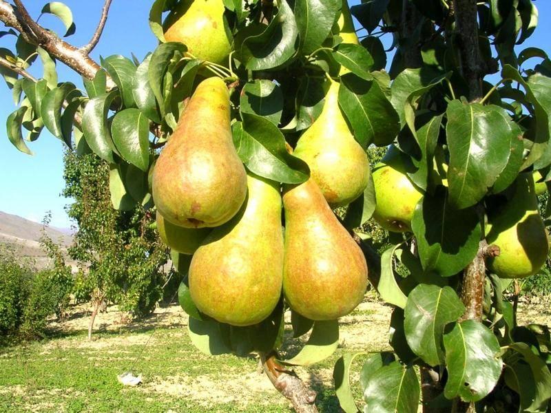 Сорта груш: зимние, летние, осенние, лучшие