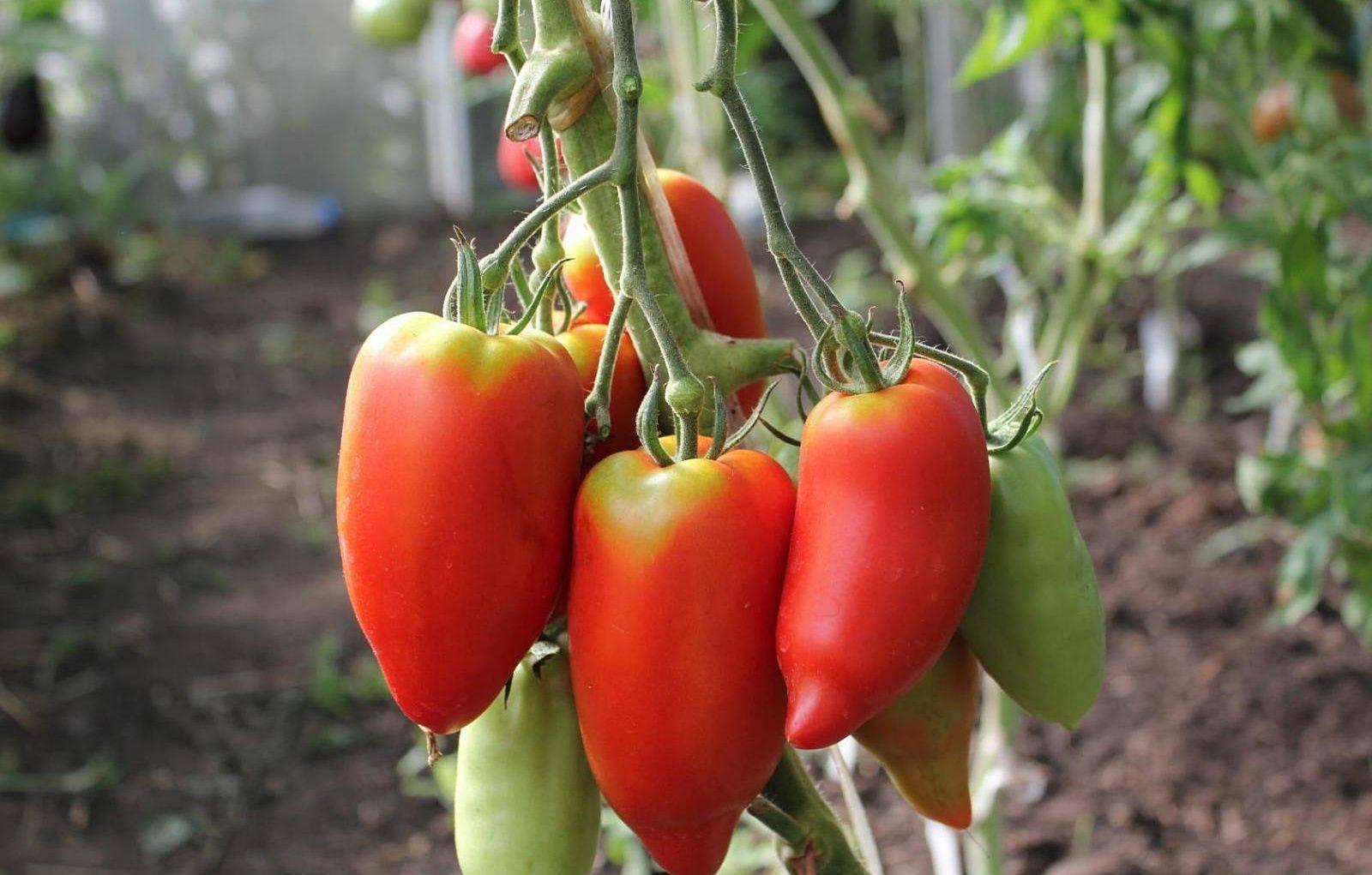Французский гибрид томат корнабель: характеристика и описание сорта