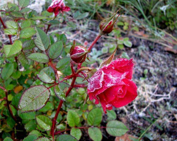Подкормка осенью роз