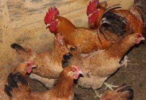 В каких условиях нужно выращивать царскосельских кур?