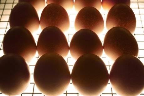 Выведение цыплят в инкубаторе от а до я