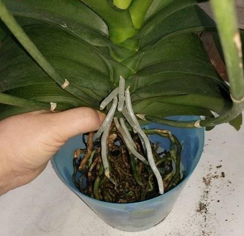 Как понять, нужен ли для орхидеи дренаж? советы, которые помогут сделать правильный выбор
