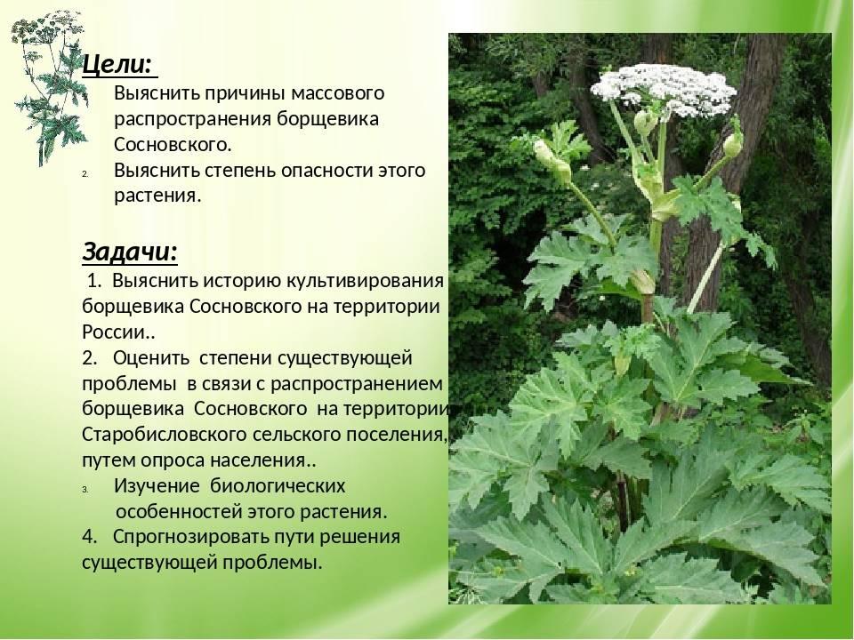 Борщевик (фото растения) - советы, секреты, рекомендации
