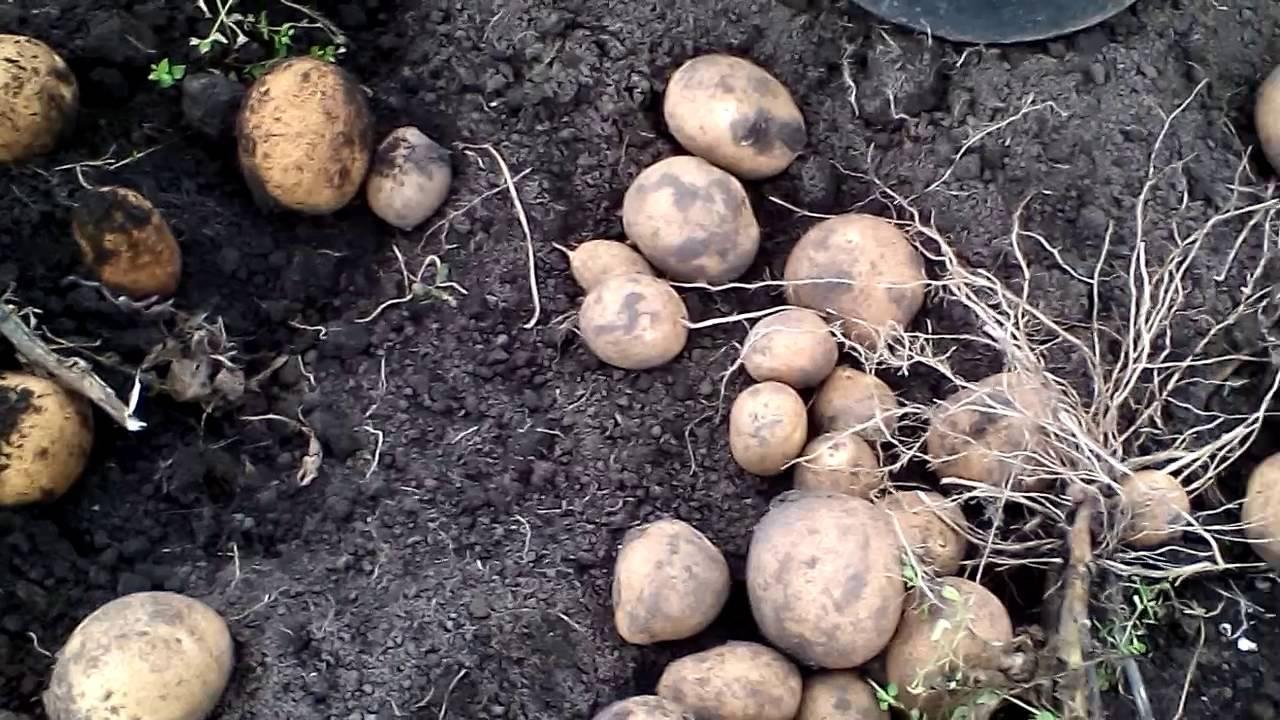 Картофель киви: 8 особенностей и 10 советов по выращиванию и хранению