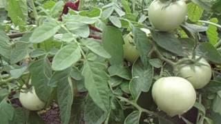 Чем удобрять помидоры от начала и до конца сезона 2020
