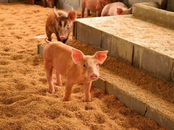 Сарай для свиней своими руками: как построить и утеплить