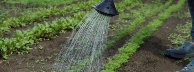 Прополка моркови керосином: можно ли и как обработать и полить им растение, каковы пропорции раствора, а также как развести средство, чтобы опрыскать всходы от травы