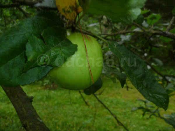 Яблоня не цветет и не плодоносит: почему это происходит и что делать