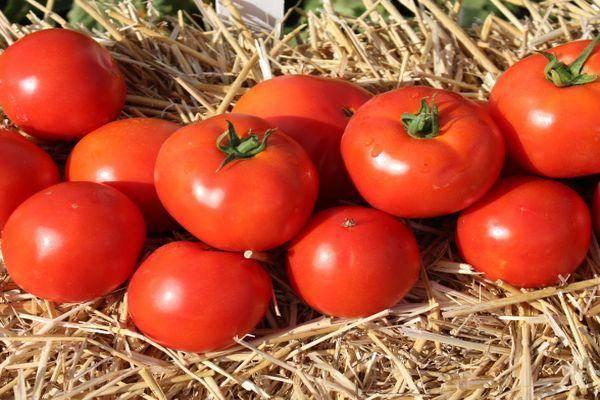 Особенности выращивания и ухода томата таня