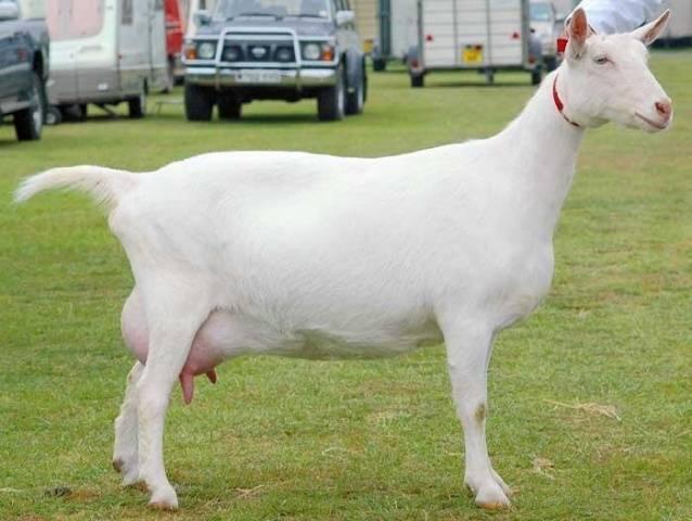 Зааненские козы — описание породы, отличительные черты, продуктивность и особенности ухода (105 фото и видео)