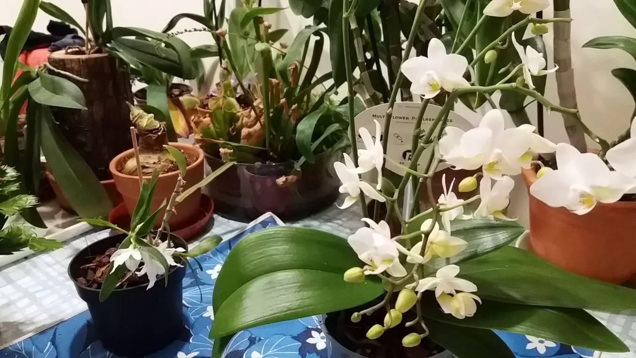 Почему засохли бутоны у орхидеи? 8 фото что делать, если нераспустившиеся цветки желтеют, засыхают и опадают?