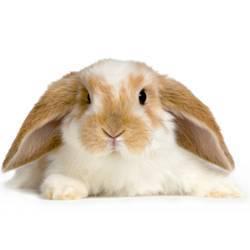 Разведение кроликов как бизнес выгодно или нет? можно просто во дворе?