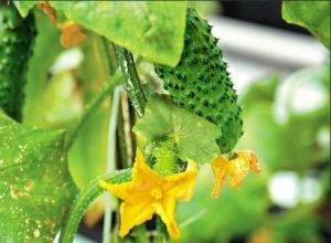 Фитоверм инструкция по применению для растений, правила обработки и отзывы дачников о препарате