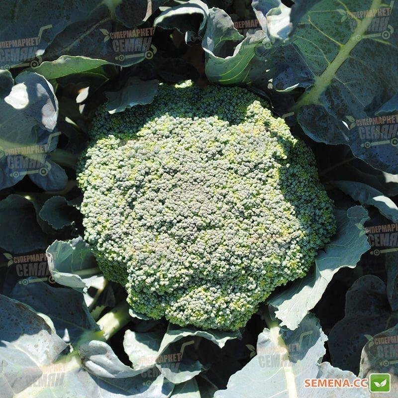 Капуста брокколи грин мэджик: отзывы