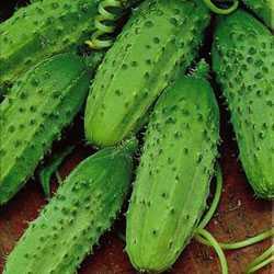 Купить семена гавриш agroelita огурец октопус f1 10 шт